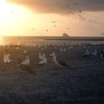 Oiseaux de Clipperton